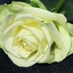 20090119_rose_c0_s5_pr_l_5616TЕ3744