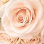 Background with roses 03_6472TЕ4704