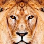 King Lion1_4002TЕ4508