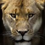 King Lion2_3862TЕ4890