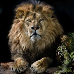 King Lion3_3876TЕ4838