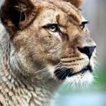 King Lion5_7488TЕ7240