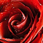 Rose Backgrounds3_5664TЕ8512