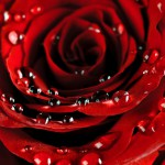Rose Backgrounds4_5664TЕ7748