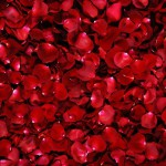 Rose Backgrounds8_6048TЕ4032