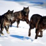 black_wolf100_1600x1200