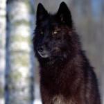 black_wolf18_1600x1200