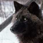 black_wolf21_1024x768