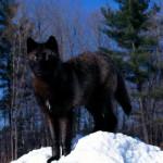 black_wolf70_1600x1200