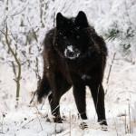 black_wolf97_1600x1200