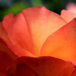 peace-rose-light-haze-4_4752TЕ3168