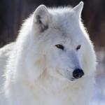 white_wolf17_1600х1200