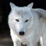 white_wolf68_1280x1024