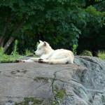 white_wolf77_1600x1200