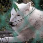 white_wolf79_1024x768