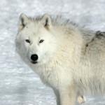white_wolf98_1600х1200