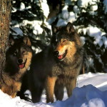 wolf102_1024x768