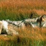 wolf103_1024x768