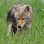 wolf104_1600x1200