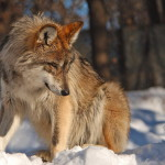 wolf105_1600x1200