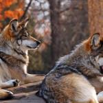 wolf106_1600x1200