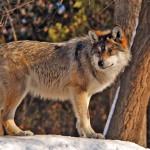 wolf107_1600x1200