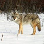 wolf108_1600x1200
