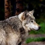 wolf109_1600x1200