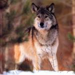 wolf10_1024x768