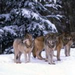 wolf110_1600x1200
