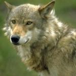 wolf11_1024x768
