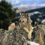 wolf12_1024x768