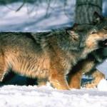 wolf13_1024x768