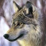 wolf14_1024x768