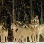 wolf15_1024x768