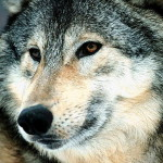wolf16_1024x768