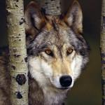 wolf19_1024x768