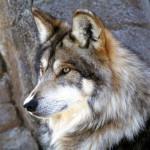 wolf1_1600x1200