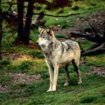 wolf24_1024x768