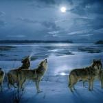 wolf25_1024x768