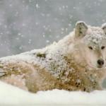 wolf26_1024x768
