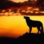 wolf27_1024x768