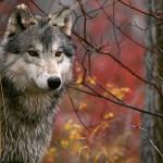 wolf28_1024x768