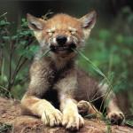 wolf29_1024x768