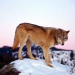wolf2_1600x1200