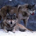 wolf40_1024x768