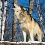 wolf42_1024x768