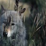 wolf43_1024x768