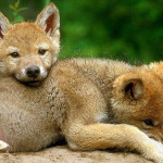 wolf44_1024x768