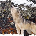 wolf45_1024x768